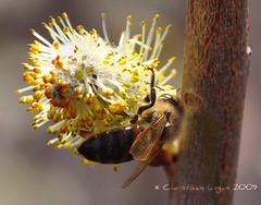 nectar-seeker (christiaan_25) Tags: sunlight flower closeup spring working bee explore nectar pollen honeybee pussywillow 413 mortonarboretum blueribbonwinner nikond90 vosplusbellesphotos springpictureaday 04april2009