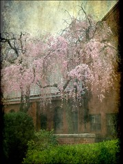 Cherry Trees Weeping in the Churchyard (Kurlylox1) Tags: pink roof red brick texture church washingtondc spring blossoms slate weeping capitolhill cherrytree stmarkschurch higan platinumphoto infinestyle