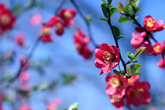 """""""The beautiful thing about learning is nobody can take it away from you."""" (ginnerobot) Tags: flowers blue red sky green nature beautiful sunshine 50mm petals spring branch afternoon bokeh small blossoms simplicity april growing delicate canonrebelxt lunchbreak viewonblack"""