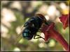 Macro - Fly / Mosca (Rampager) Tags: macro closeup canon fly powershot supermacro mosca varejeira sx110