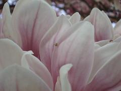 2009-04-11 Bad Kreuznach Roseninsel 37 (derUltes) Tags: bad kreuznach magnolie roseninsel