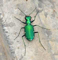 Six Spotted Tiger Beetle (DrPhotoMoto) Tags: green spots fluorescent cicindelasexguttata sixspottedtigerbeetle colorphotoaward vosplusbellesphotos notyournormalbug