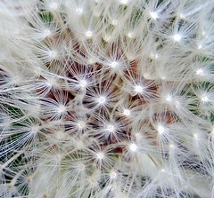 Do you think I got close enough to this ? :) (tracyhughes2_7.) Tags: white macro nature closeup dandelion dandelionclock digitalcameraclub wonderfulworldofflowers 100commentgroup