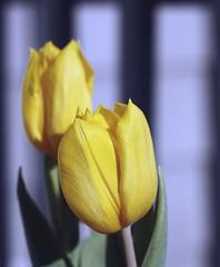 Happy Sunday (lauriemonica) Tags: sun yellow tulips happyflowers novignetting althoughitkindoflookslikeit porchrailsinbackground
