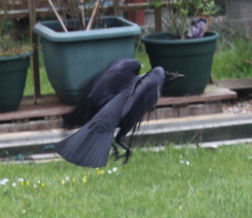 Jackdaw Taking Off