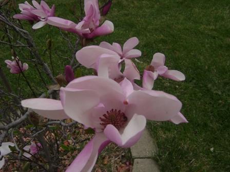tulip tree2