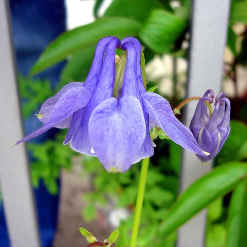 blaue Akelei (Aquilegia)