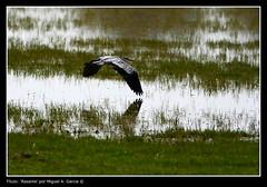Rasante (.Kikaytete.QNK) Tags: huelva laguna doñana ornitologia mywinners abigfave kikaytete platinumheartaward