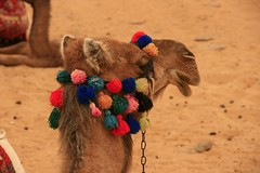 (846) Camel / Ain Khadra oasis / National park white desert (unicorn 81) Tags: africa travel sunset white color sahara nature animal animals trekking landscape nationalpark sand colorful desert northafrica dunes dune egypt camel egyptian colourful egipto coloured 2009 gypten animale egitto egypte reise egypten rundreise roundtrip egipt gypte mapegypt saharadesert whitedesert westerndesert misr nordafrika egypttrip libyandesert april2009 gypten aegyptus libyschewste unicorn81 weisewste  gyptusintertravel gyptenreise schulzaktivreisen saharacolors nationalparkweisewste nationalparkwhitedesert treanim meinjahr2009