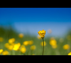 ~  Buttercup ~ (flowers and blue sky) (Komatoes) Tags: park uk flowers cute field buttercup 4 explore devon exeter valley kawaii fp yellowflowers kawai ludwell buttercupbokeh 247bokehlife blueskyandflowers