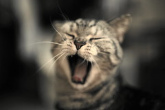 ~~~~~~~~ () Tags: cute cat yawn sleepy bite roar shout