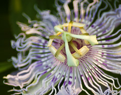 Brays Bayou Flora - Passionflower closeup
