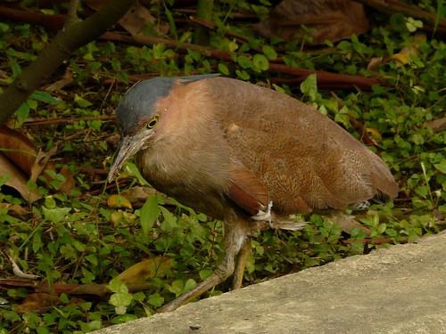 Malayan Night Heron (Gorsachius melanolophus) - 黑冠麻鷺