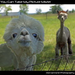 You Can Take My Picture Mister (Don Iannone) Tags: ranch ohio alpaca nature animals fence countryside spring farm pasture springtime vermilion sunnyday alpacafarm alpacaranch vermilionohio herdanimals doniannone summerbook june2009 doniannonephotography nikond2xcamera