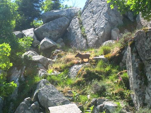 Dans la traversée Funtanella - Apaseu : des petits sangliers
