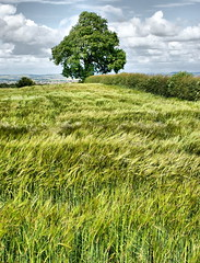 Whispering grass (Andy Coe) Tags: summer sky tree english field grass whispering view wind sony 28mm wentworth flowing alpha rotherham coutryside southyorkshire a700