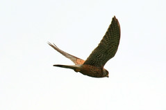 Kestrel in flight (dudley72) Tags: park uk male bird fly south yorkshire flight falcon hunter prey hunt kestrel pheonix hover dearne