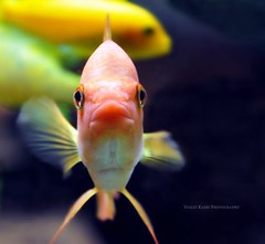 click here to add a title (Violet Kashi) Tags: portrait fish closeup gold aquarium nikon dof tank lookingatyou d90 fishkeh