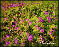 Florecita Silvestre!!! (Mariavica17-) Tags: flowers macro green primavera grass spring balance violeta violetas hierba florecitas vede floressilvestres floresdelcampo silvesterflowers mariavica hierbadelcampo florcampirana