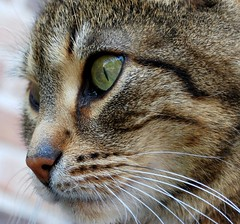 Cheeky Monkey (SpitMcGee) Tags: pet cat nose sweet tiger portrt greeneyes nase kater delicacy cheekymonkey naseweis bej leckerchen kissablekat bestofcats sse gneaugen catfrommyneighbour