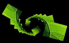 Escher_Goldsworthy_esque (YAZMDG (16,000 images)) Tags: plant green nature collage leaf nsw photomontage escher goldsworthy feuille yaz euphorbiaceae hinterland macaranga rainbowregion tanarius nswrfp yazminamicheledegaye northernriversspecies yazmdg