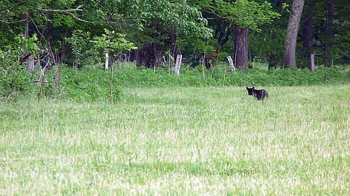Black bear cub runs out into the meadow