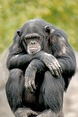 Waiting for Nothing !!! (Picture Taker 2) Tags: nature beautiful animal closeup outdoors zoo funny chimp missouri unusual chimpanzee stlouiszoo captive upclose mammals primate zooshot wildanimals africaanimals