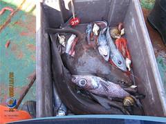 arrastre08 (Tiburones Chile) Tags: conoce pesquerias especieamenazada