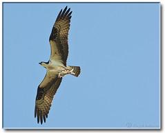 Osprey with breakfast - full view (Romair) Tags: fish nature wildlife flight marincounty marsh osprey cortemaderamarsh rogerjohnson
