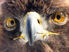 Golden Eagle Close-Up (affinity579) Tags: bird nature closeup nikon eagle quebec wildlife goldeneagle ecomuseum d90 supershot specanimal