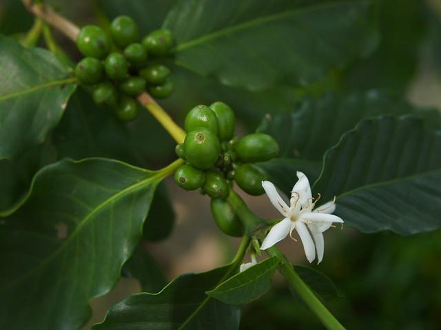 咖啡(花與果實)