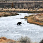 Bull Moose Crosses a side channel of Green River on Seedskadee NWR thumbnail