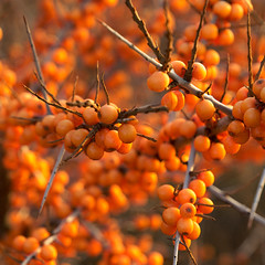 Sea Buckthorn (jamalrob) Tags: winter orange square berries olympus zuiko buckthorn e510 1260