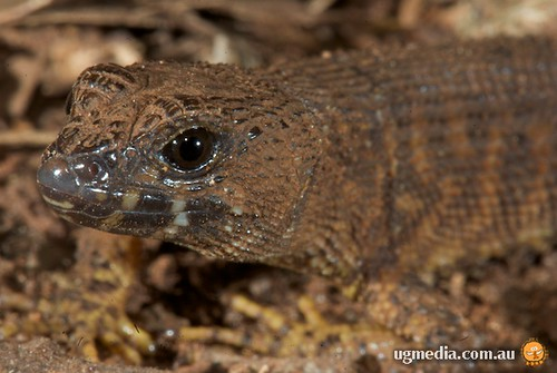 Prickly forest skink (Gnypetoscincus queenslandiae)
