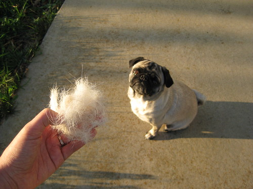 Go Pug Yourself How Much Does A Pug Shed