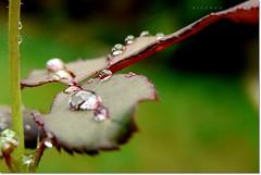 Drops (Ricardo Cosmo) Tags: macro folhas leaves rain rose drops lluvia chuva rosa gotas closeup3 duetos a3b peregrino27newvision