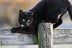 Playful black kitty (Tambako the Jaguar) Tags: wood playing black cute yellow cat fence switzerland wooden eyes furry nikon feline funny bokeh kitty felid d300 mywinners grt theunforgettablepictures vosplusbellesphotos
