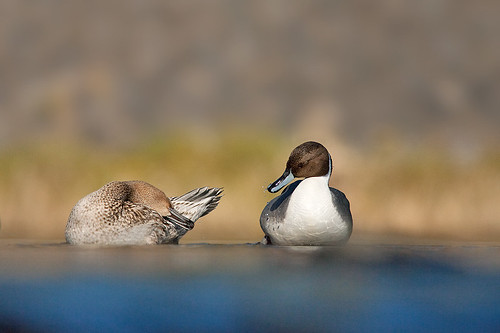 20090128-pintail duck