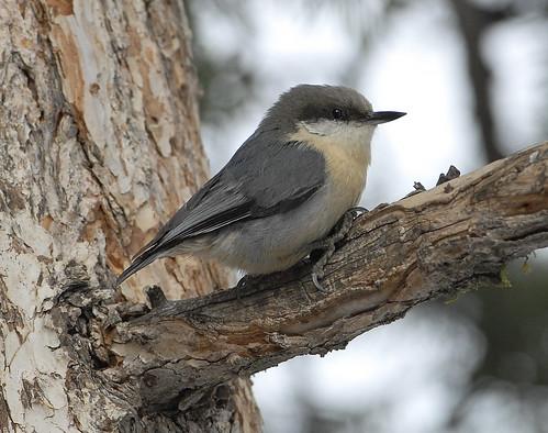 Pygmy Nuthatch by pinebird.