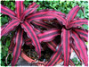 Cryptanthus bivittatus 'Ruby' (Earth Star, Starfish Plant)