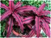Cryptanthus bivittatus 'Ruby' (Earth Star, Starfish Plant)