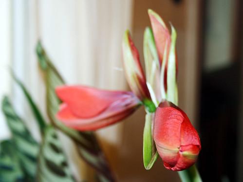 amaryllis buds opening  3
