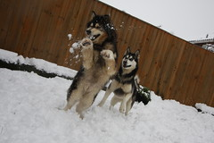 Snow dogs (TigerTanya) Tags: snow playing dogs animals wolf huskies snowballs playinginthesnow canoneos40d bitingsnow