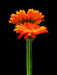 Orange Gerberas (janruss) Tags: orange flower floral explore gerbera fa amazingcolors excellence onblack fineartphotos mywinners platinumphoto anawesomeshot colorphotoaward theunforgettablepictures fbdg 100commentgroup simplythebest~flowers vosplusbellesphotos flickrflorescloseupmacros alittlebeauty sensationalphoto janruss janinerussell newgoldenseal