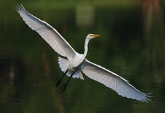 Oh What a Feeling!   [Explored] (soccersc(Jim Allen)) Tags: waders egrets ardeaalba greategret topshot summervillesc amazingamatuer betterthangood multimegashot lightpainter bbw interestingshot explore interestingness explored dragondaggeraward specanimal platinumphoto theunforgettablepictures lakeashborough soccersc amazingexcellence 100commentgroup birdwatcher birds bird tup2 wildlife flickrenvythebesttm abovealltherest platinumpeaceaward artofimages vosplusbellesphotos 14kgold 24kgold magicunicornverybest mygearandme mygearandmesilver mygearandmepremium mygearandmebronze mygearandmegold mygearandmeplatinum naturallyjimallen fineartprints wildlifephotography wildlifeart interiordesign charlestonsc