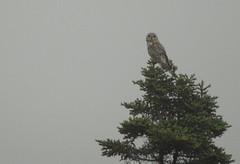 08 09 07_3203Asio flammeus, Short eared Owl (Mark R. Tsang) Tags: owl shortearedowl newfoundlandandlabrador predetors markrtsang markincb markrtsangphotography copyrightmarkrtsang nottobeusedorcopiedwithoutmypermission