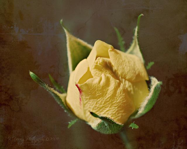 Rosebud in texture