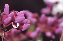 Eastern Redbud with Raindrop Refractions (victoriaporter (here - always behind)) Tags: pink trees flower macro nature rain closeup spring colorful blossoms maryland drop raindrops droplet buds cerciscanadensis easternredbud judastree mywinners specialpicture nikond90 1855mmvrlens canadianredbud