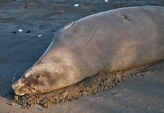 beach nap in the morning sun (bluewavechris) Tags: ocean life blue sea sun beach water animal mammal hawaii sand marine sleep monk diving maui snorkeling seal creature