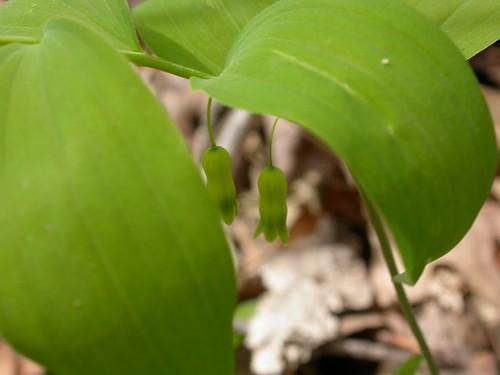 Convallaria pubescens image